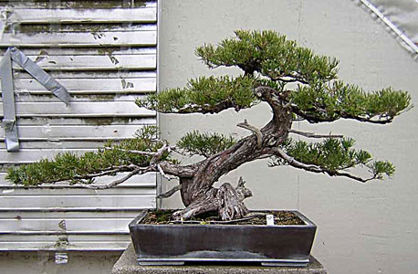 Bonsai West