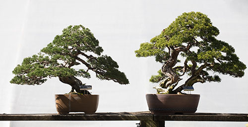 Cold hardy bonsai trees