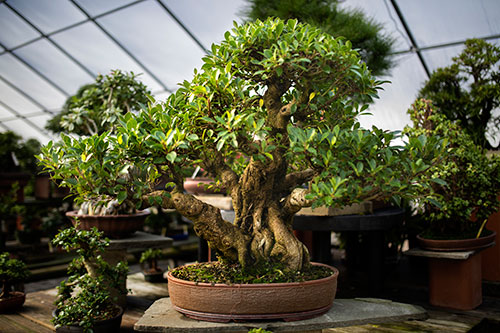Tropical Bonsai At West