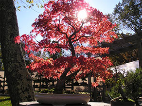 Fall at Bonsai West