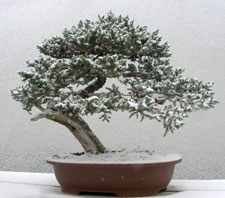 Winter at Bonsai West